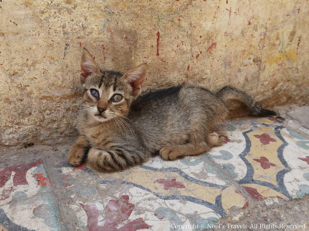 フェズの旧市街の猫